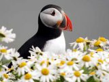 The Five Puffins